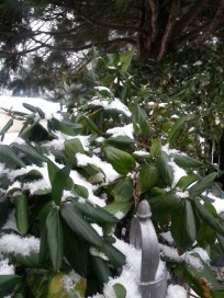 Snow dusted honeysuckle vines